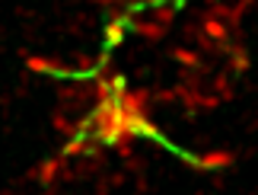parMRC forms a full functional complex in mammaliancells