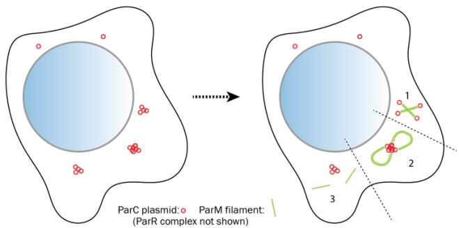 cyto-split_model